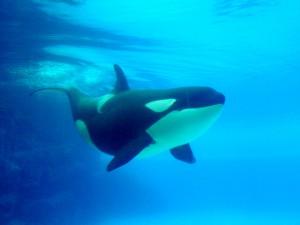 killer-whale-orca-flickr-rays