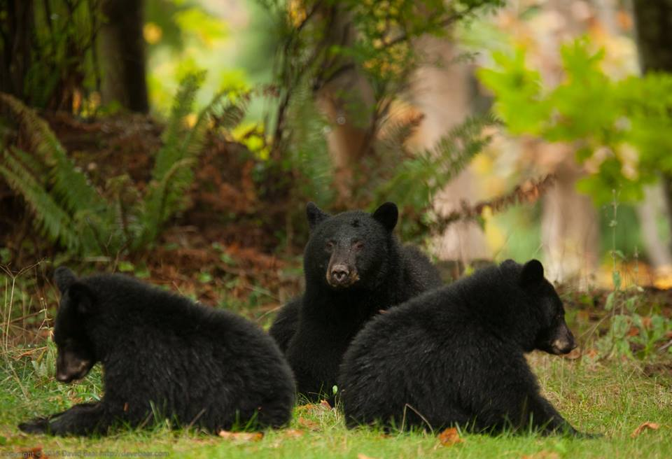 Spike in bear calls on Vancouver Island, Sunshine Coast - My Powell River Now
